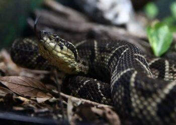 Study Shows Brazilian Viper Venom May Become Tool in Fight Against Coronavirus