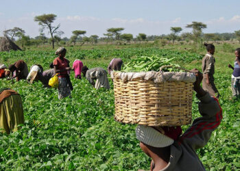 Agriculture: We are taking advantage of NiMet prediction to plant more crops – AFAN